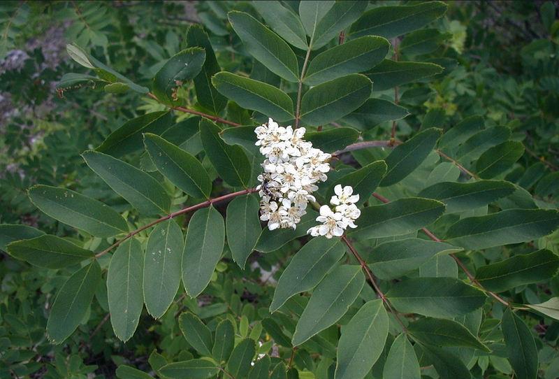 Sorbus sitchensis var. grayi