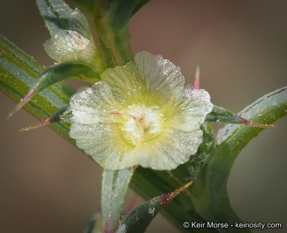Salsola australis