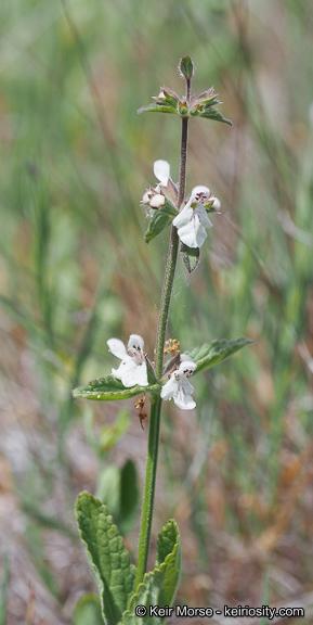 Stachys rigida var. quercetorum