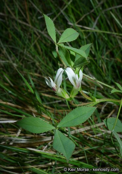 Trifolium monanthum ssp. grantianum