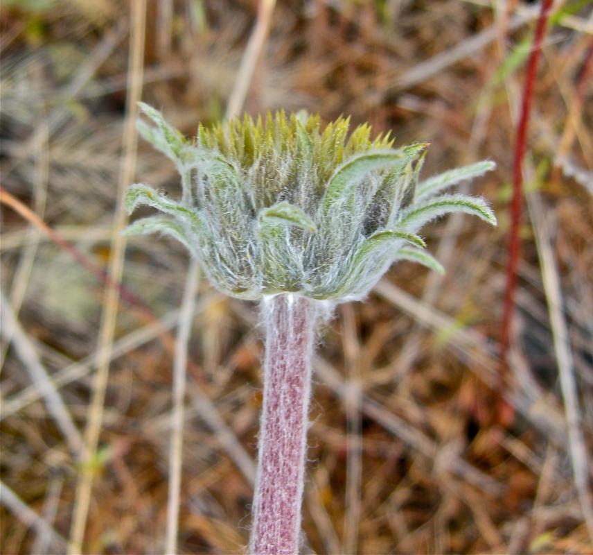Balsamorhiza lanata