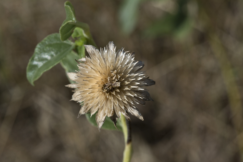 Helianthus petiolaris