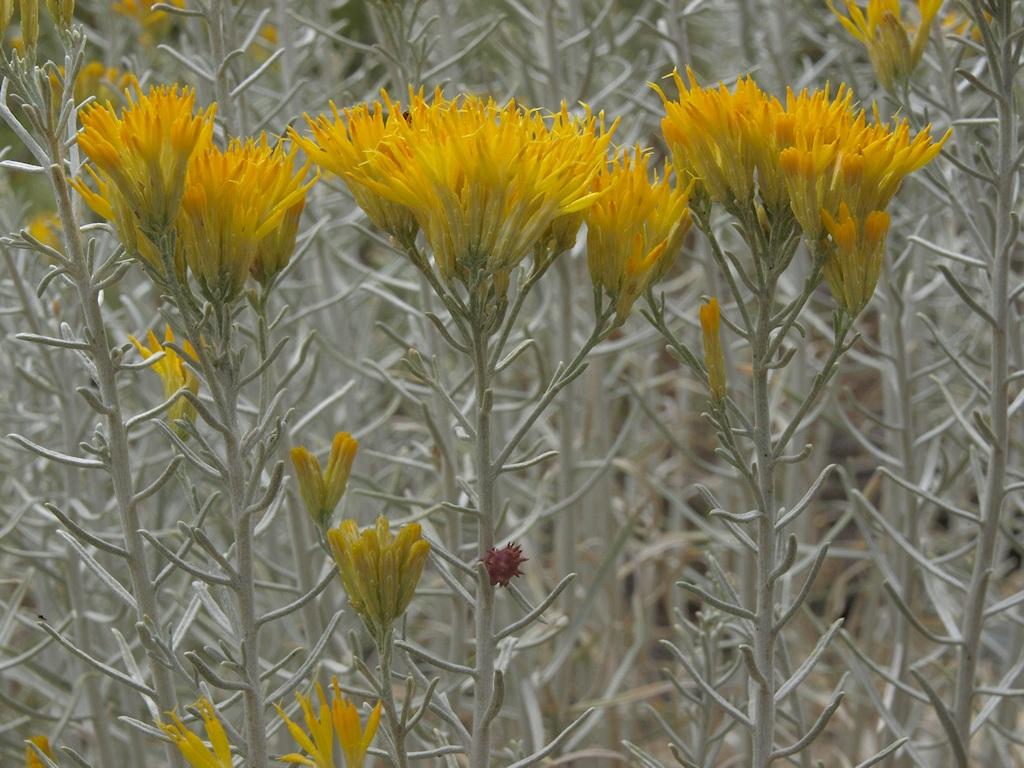 Ericameria nauseosa var. hololeuca