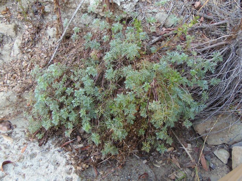 Geranium incanum