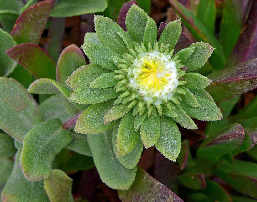 Grindelia stricta var. platyphylla