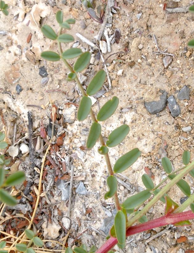 Astragalus preussii