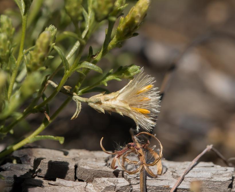 Ericameria ophitidis