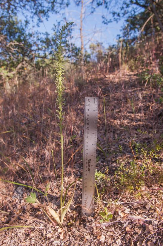 Piperia leptopetala