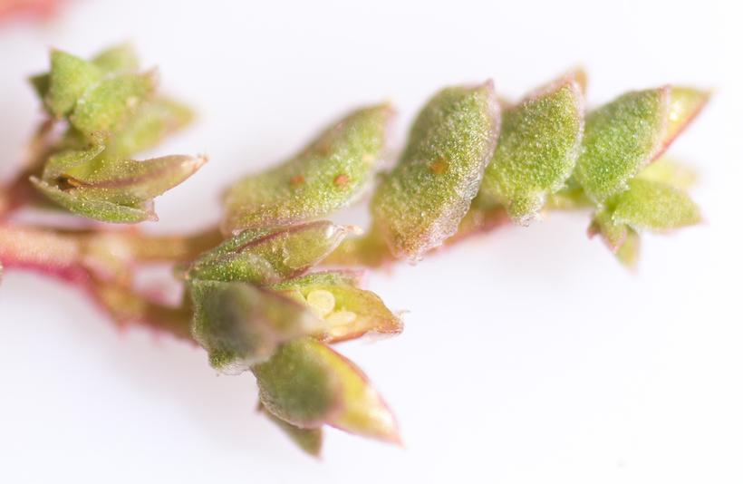 Calyptridium parryi var. hesseae