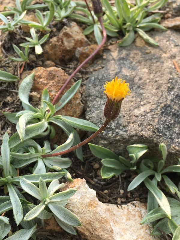 Raillardella argentea