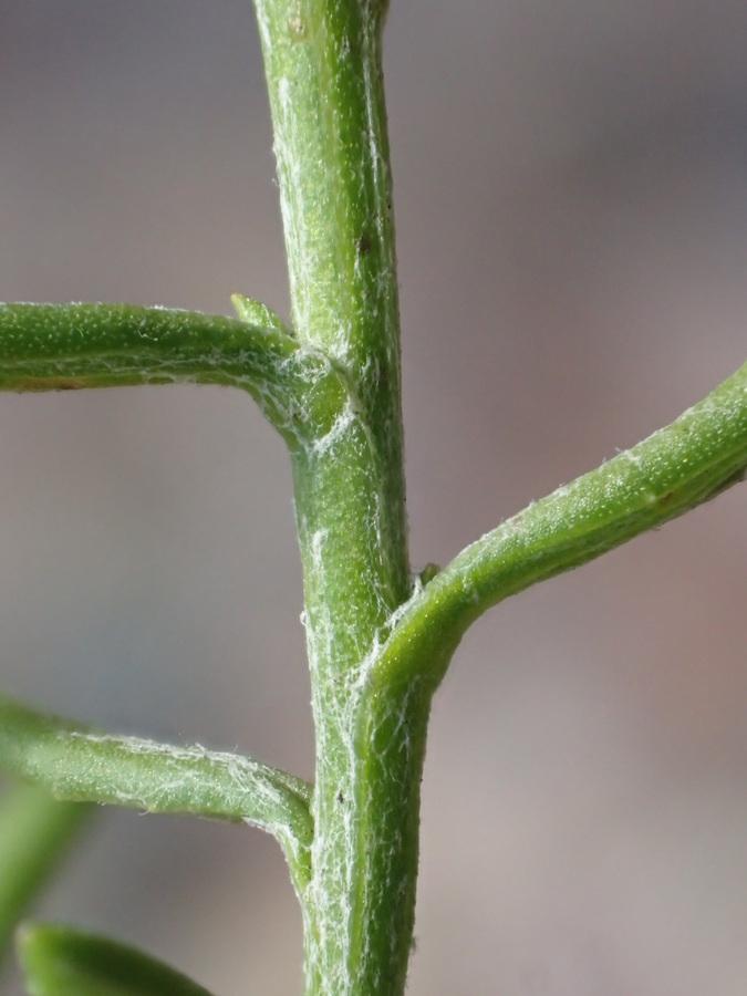 Senecio angustifolius