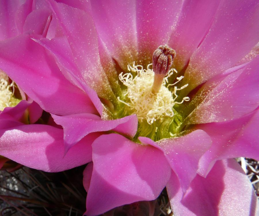 Echinocereus engelmannii var. engelmannii