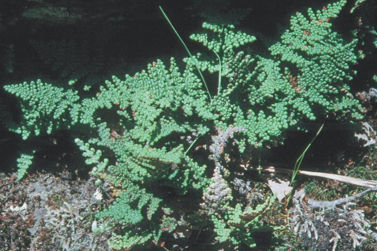 Cheilanthes intertexta