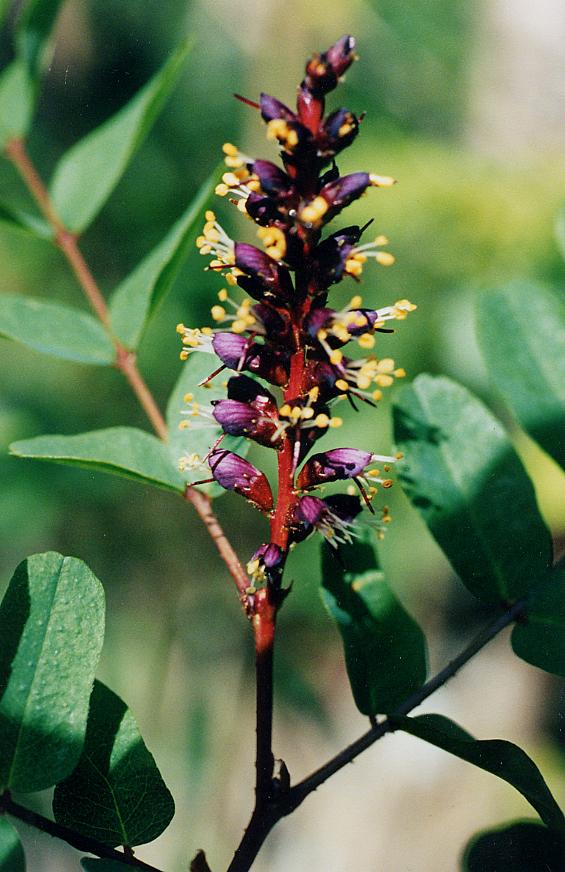 Amorpha californica var. napensis
