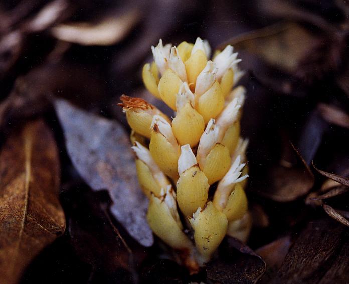 Kopsiopsis hookeri