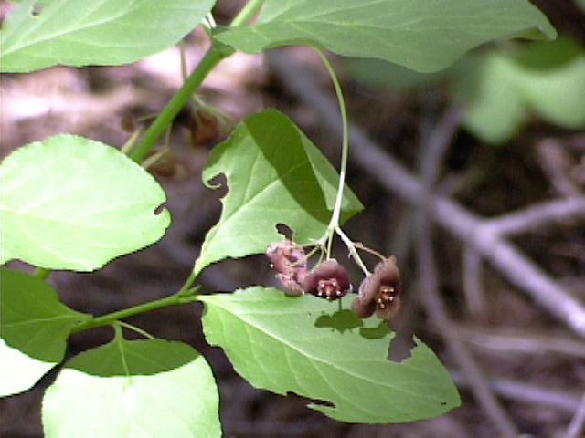 Euonymus occidentalis var. parishii
