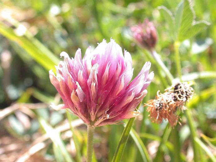 Trifolium longipes var. shastense