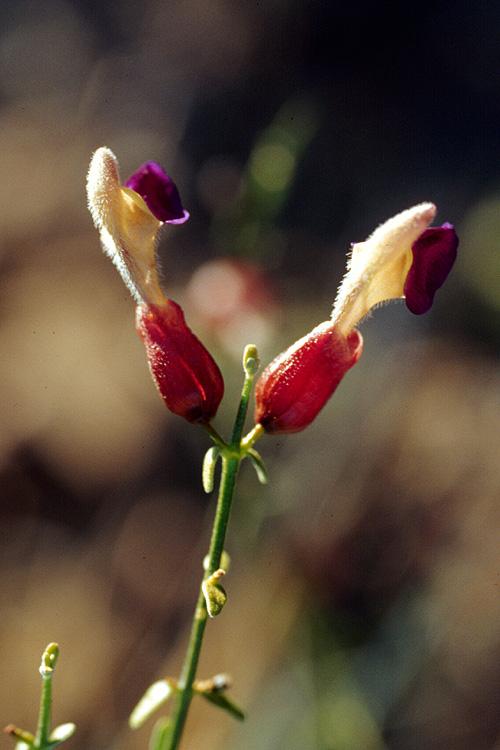 Salazaria mexicana