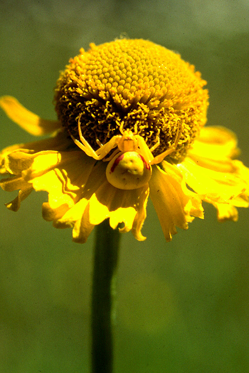 Helenium autumnale var. montanum