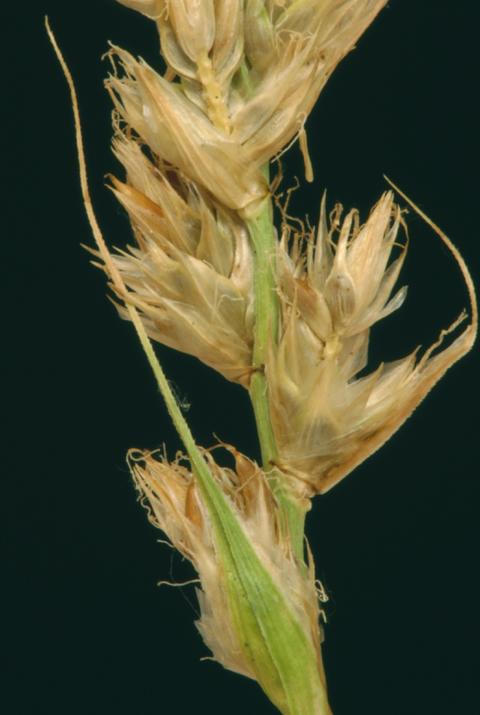 Carex fracta
