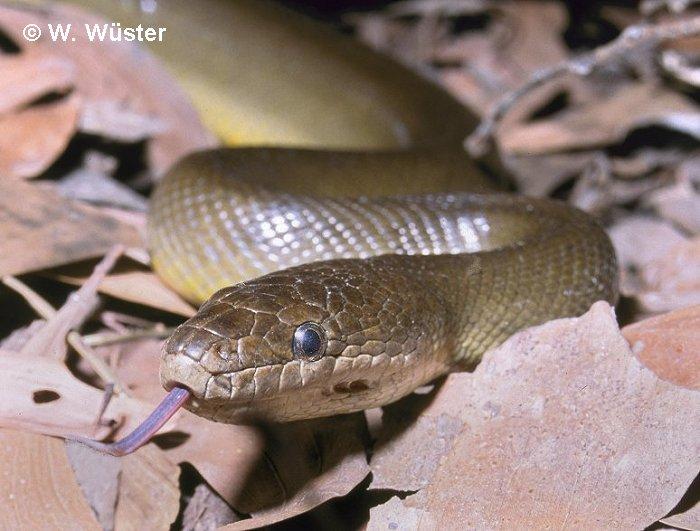 Wild Herps - Water Python (Liasis fuscus)