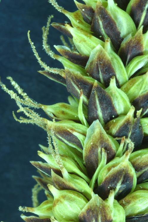 Carex lenticularis var. impressa
