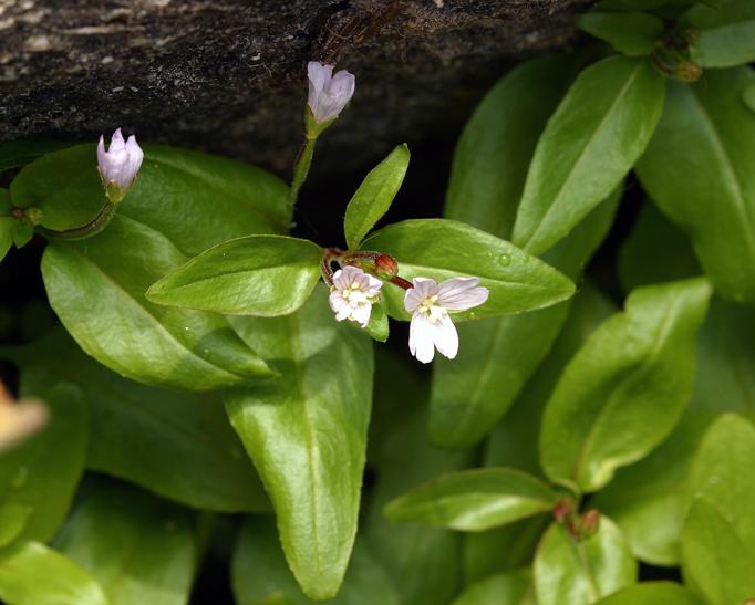 Epilobium glaberrimum ssp. glaberrimum