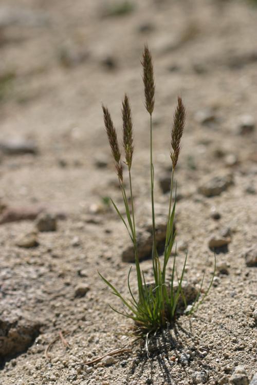 Trisetum spicatum