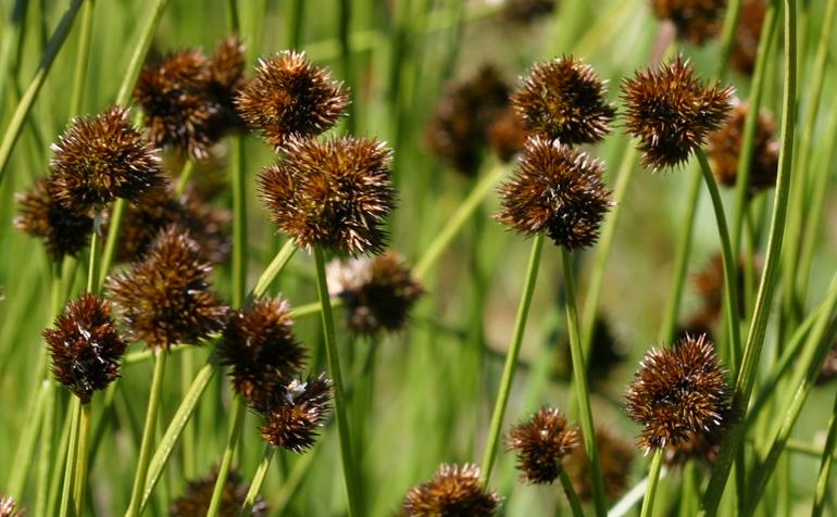 Carex pachystachya