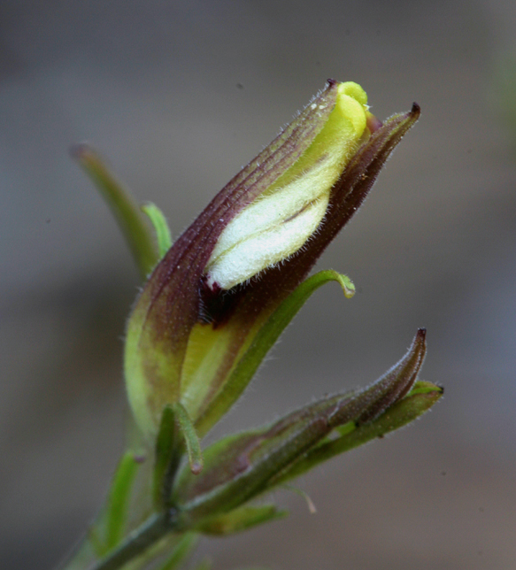 Cordylanthus tenuis