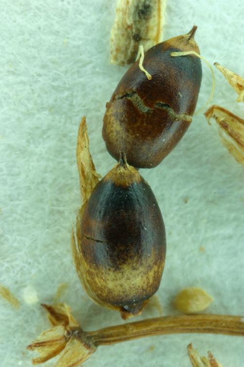 Cladium californicum