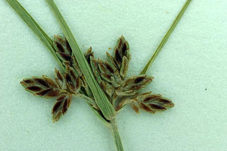 Cyperus bipartitus