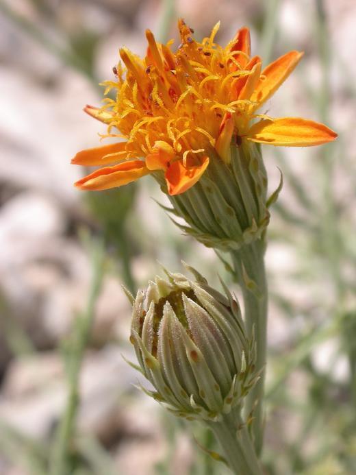 Adenophyllum cooperi