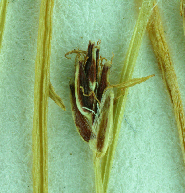 Eleocharis acicularis var. gracilescens