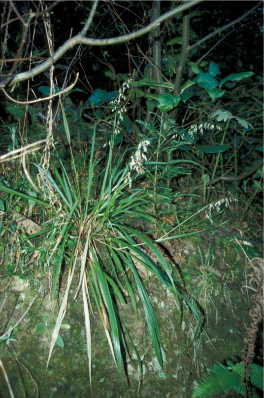 Hierochloe occidentalis