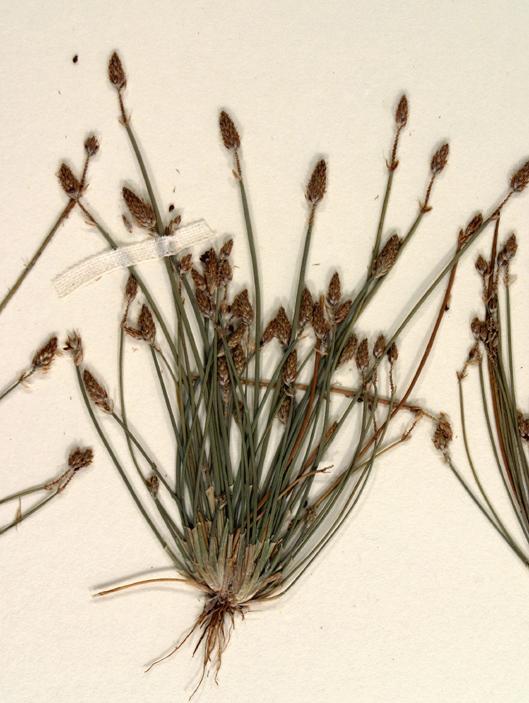 Eleocharis obtusa var. engelmannii
