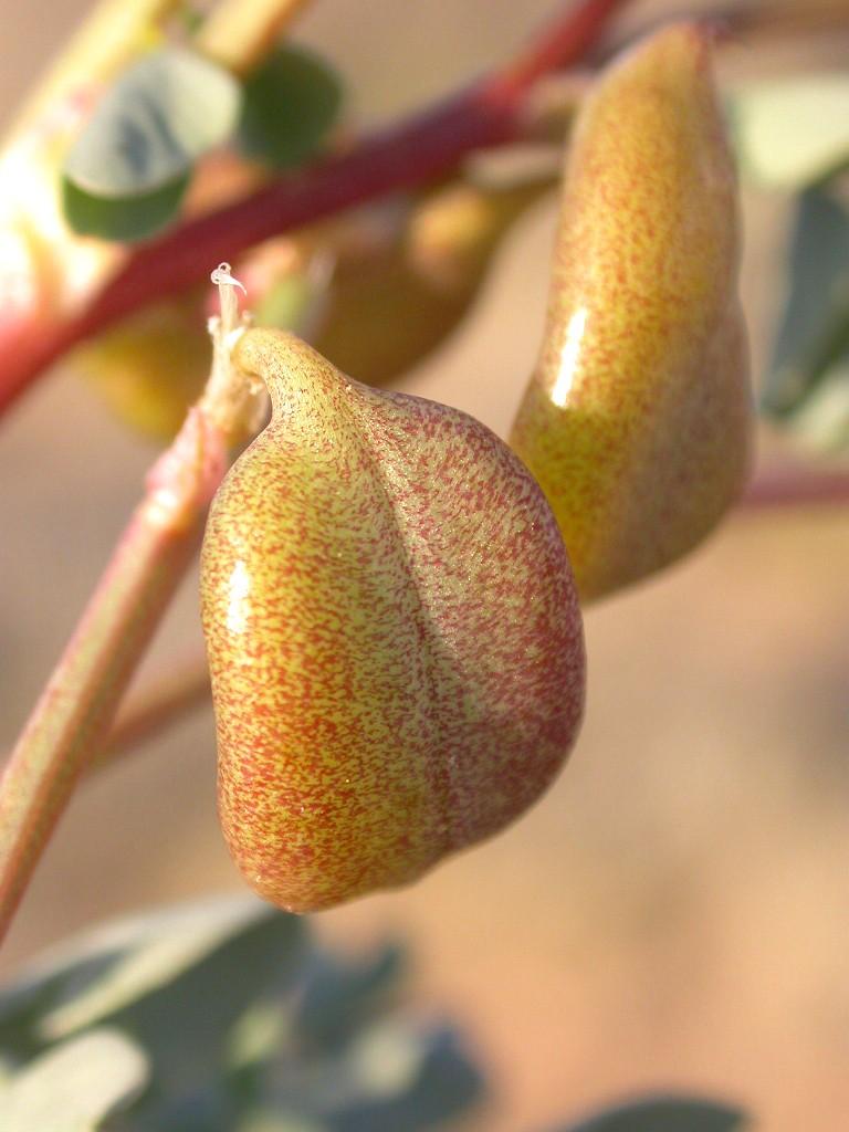Astragalus cimae