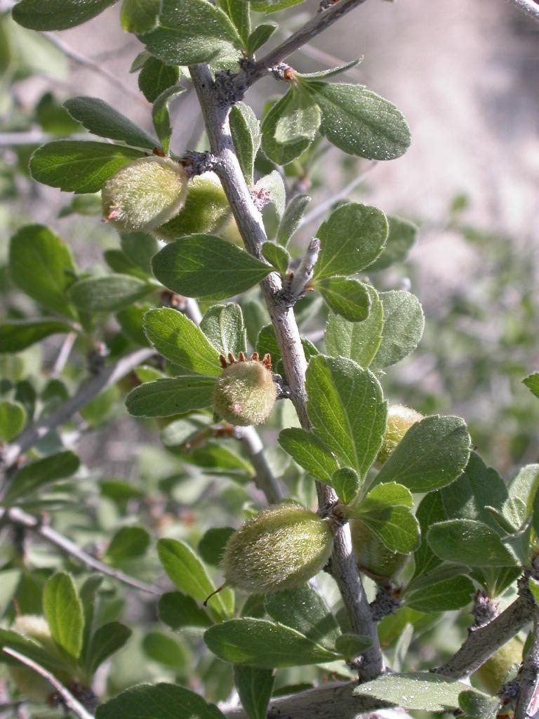 Prunus eremophila