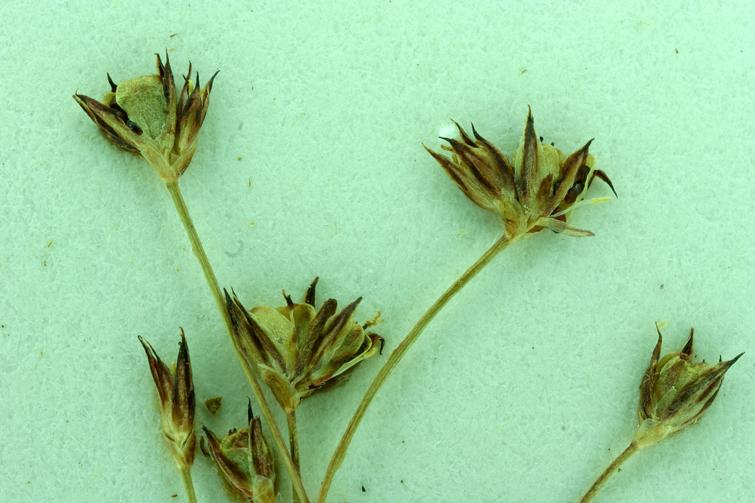 Juncus capillaris
