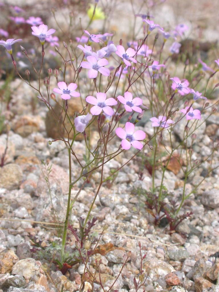 Gilia cana ssp. speciformis