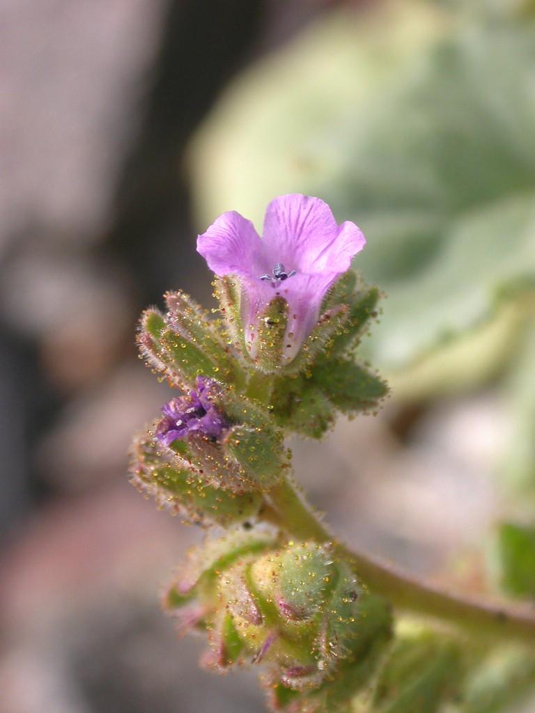 Phacelia pachyphylla