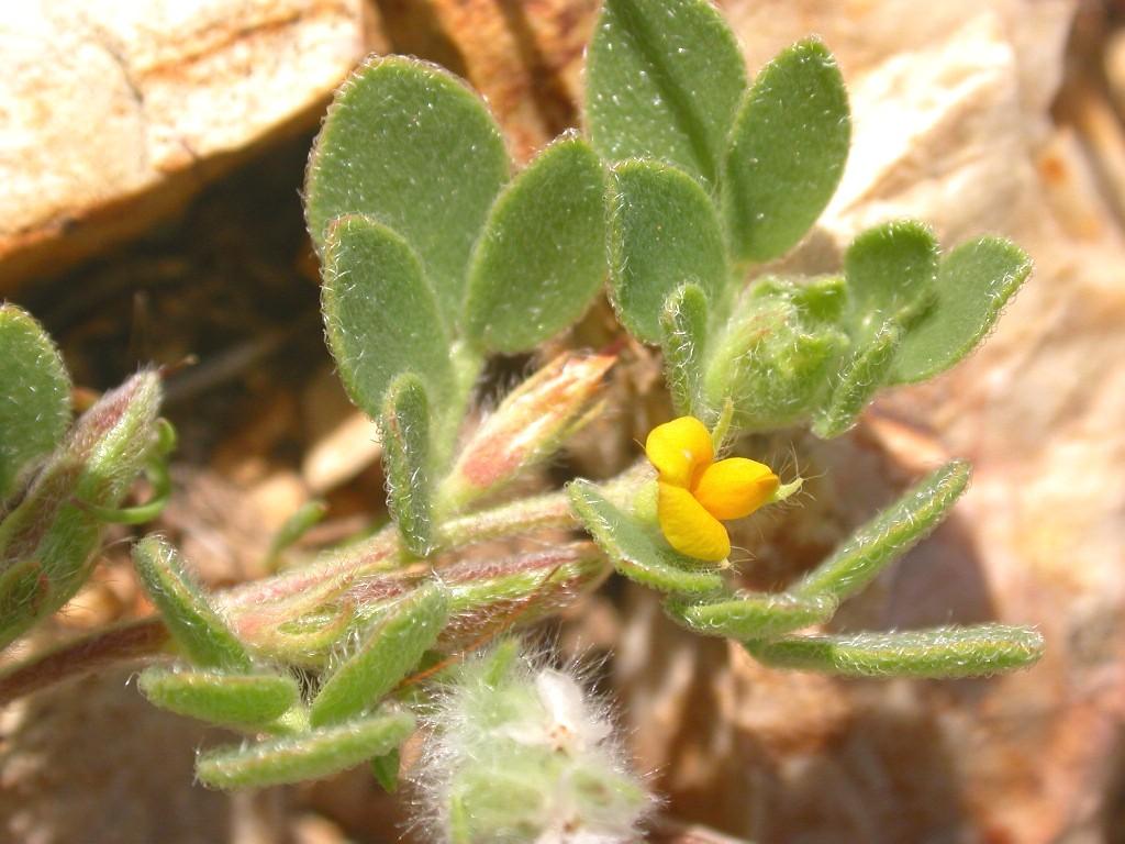 Lotus salsuginosus