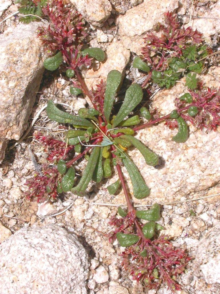 Calyptridium monandrum