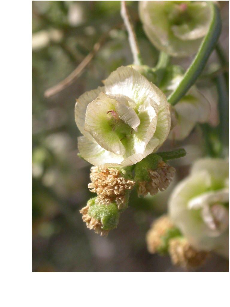 Ambrosia salsola var. salsola