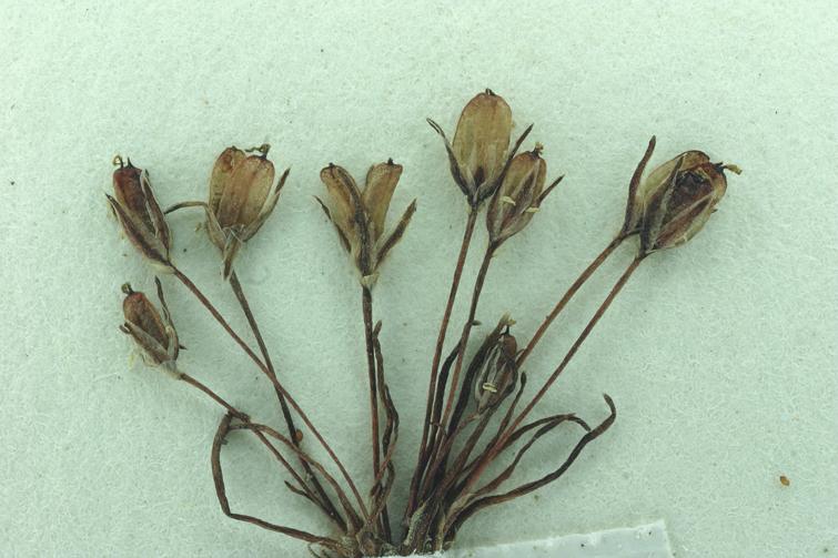 Juncus hemiendytus var. hemiendytus