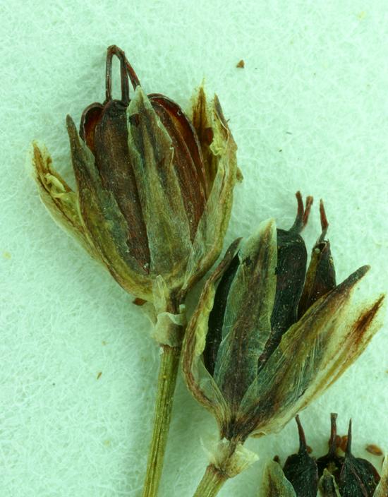 Juncus leiospermus var. ahartii