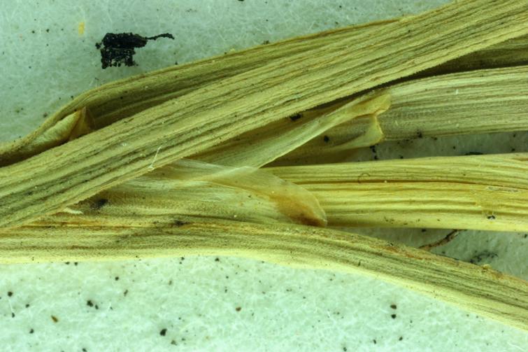 Juncus longistylis