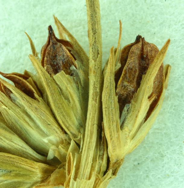 Juncus macrophyllus