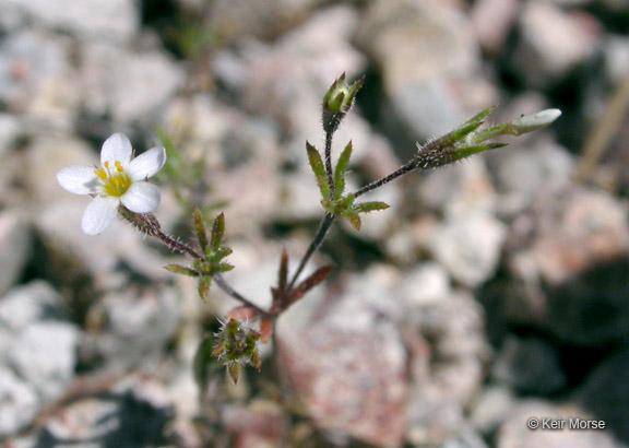 Leptosiphon pygmaeus ssp. continentalis