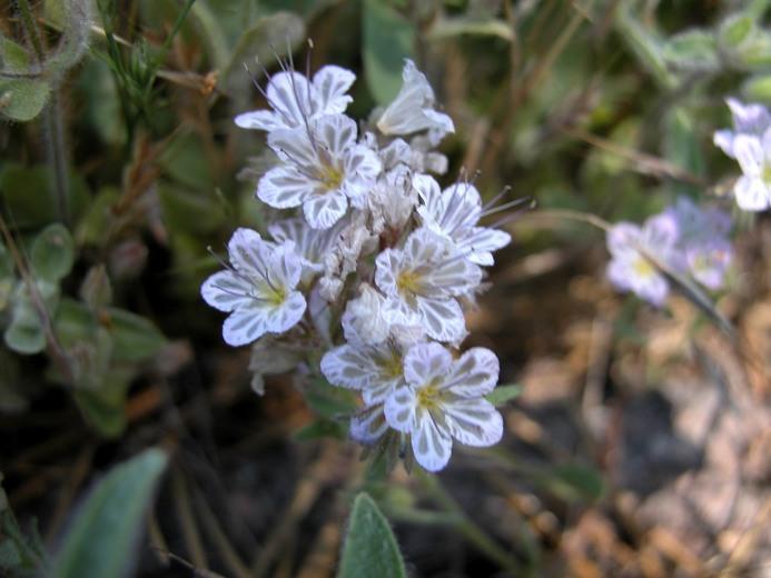 Phacelia mohavensis